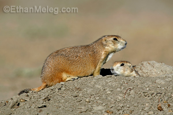 Black-tailed Prairie Dog in Grasslands National Park, southern Saskatchewan.