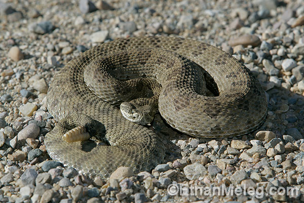 Prairie Rattlesnake in Grasslands National Park, southern Saskatchewan.