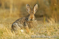 Nuttal's Cottontail Rabbit